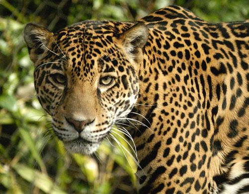 GrayWolfConservation.com - Big Cats - Jaguars