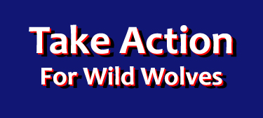 Speak out to save wild wolves