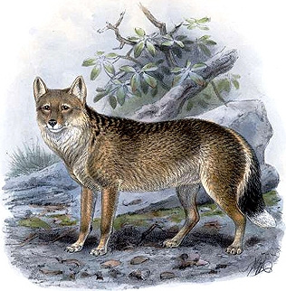 Falkland Islands wolf - Illustration by John Gerrard Keulemans (1842-1912)