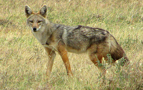 Golden jackal - by D. Gordon E. Robertson