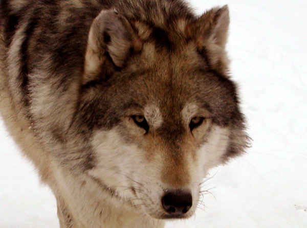 gray wolf pack howling