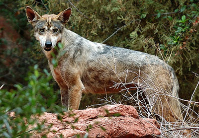 GrayWolfConservation com - Wolves of the World